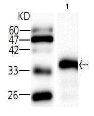 Western blot - Influenza A Hemagglutin HA1 antibody [9] (ab81129)