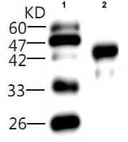 Western blot - Listeria monocytogenes hly antibody [3] (ab81141)