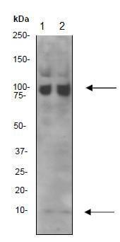 Western blot - NEDD8 antibody [Y297] (ab81264)