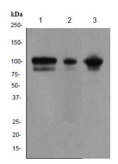 Western blot - Anti-alpha Actinin antibody [EP2528Y] (ab81265)