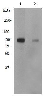Western blot - MSK1 (phospho S360) antibody [EP1888Y] (ab81294)