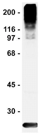Western blot - Sumo 2+3 antibody [8A2] (ab81371)