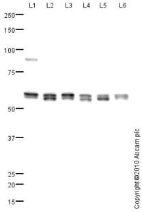 Western blot - VPS4B antibody (ab81416)