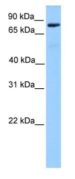 Western blot - C12orf40 antibody (ab81496)