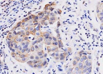 Immunohistochemistry (Formalin/PFA-fixed paraffin-embedded sections) - Wnt3a antibody [3A6] (ab81614)