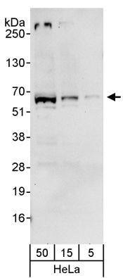 Western blot - SMARCD2 antibody (ab81622)