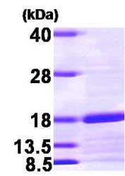 SDS-PAGE - SNAPIN protein (His tag) (ab81766)