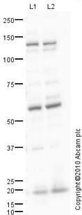 Western blot - SLC4A7 antibody (ab82335)