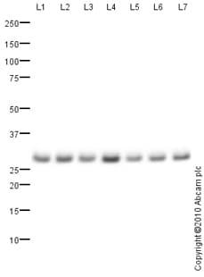 Western blot - Proteasome 20S C2 antibody (ab82521)