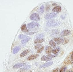 Immunohistochemistry (Formalin/PFA-fixed paraffin-embedded sections) - REA antibody (ab82547)