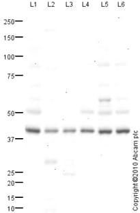 Western blot - Anti-Caspase-1 antibody (ab82563)