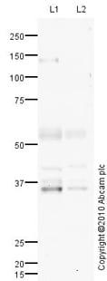 Western blot - GDF15 antibody (ab82569)
