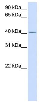 Western blot - C2orf18 antibody (ab82643)