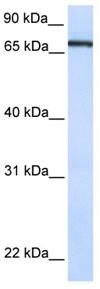 Western blot - TCF7L1 antibody (ab82690)