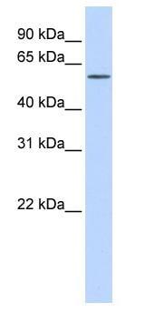 Western blot - ITPRIPL1 antibody (ab82723)