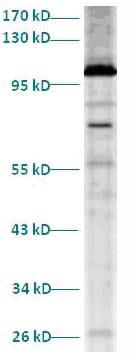 Western blot - Dynamin 2 antibody (ab82826)