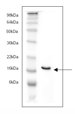 SDS-PAGE - FABP4 protein (His tag) (ab82834)