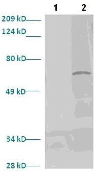 Western blot - LMX1b antibody (ab82835)