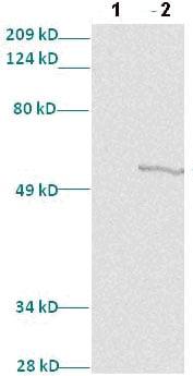 Western blot - MafB antibody (ab82837)