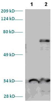 Western blot - MEF2A antibody (ab82839)