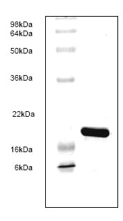 SDS-PAGE - BLBP protein (His tag) (ab82841)