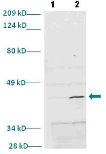 Western blot - Myogenin antibody (ab82843)