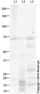 Western blot - Leukotriene B4 Receptor antibody (ab82851)