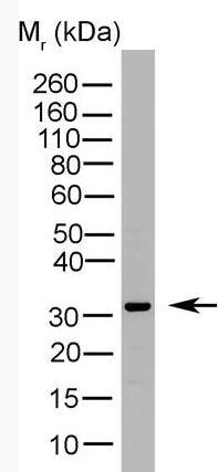Western blot - NQO1 antibody [A180] (HRP) (ab82880)