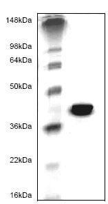SDS-PAGE - MMP9 protein (His tag) (ab82907)