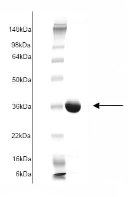 SDS-PAGE - glutathione S transferase Omega 1 protein (His tag) (ab82954)