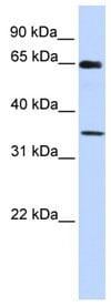 Western blot - TFIIB antibody (ab82989)