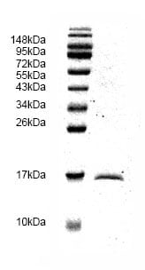 SDS-PAGE - TGF beta 1 protein (His tag) (ab82991)
