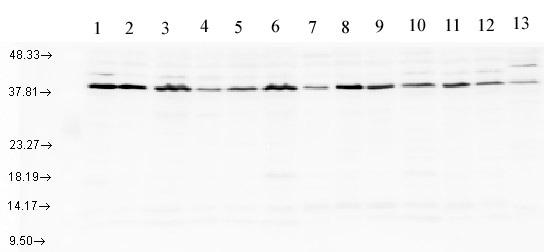 Western blot - AHA1 antibody (ab83036)