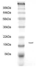 SDS-PAGE - Fatty Acid Binding Protein 5 protein (His tag) (ab83117)
