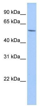 Western blot - TRIP15 antibody (ab83225)