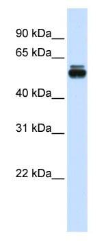 Western blot - TRIM35 antibody (ab83243)