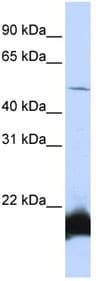 Western blot - HNF6 antibody (ab83289)