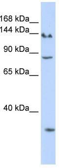 Western blot - mSin3A antibody (ab83292)