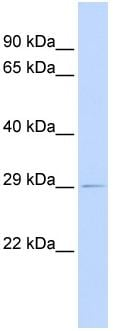 Western blot - PSMG1 antibody (ab83527)