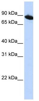Western blot - zinc finger protein 780A antibody (ab83543)