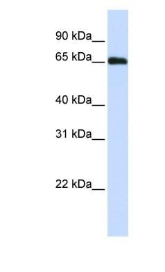 Western blot - WDR23 antibody (ab83559)