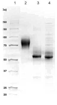 SDS-PAGE - c-Kit protein (Active) (ab83580)