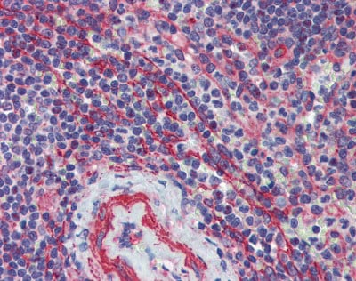 Immunohistochemistry (Formalin/PFA-fixed paraffin-embedded sections) - Anti-MCTP1 antibody (ab83673)
