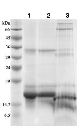 SDS-PAGE - IL2 protein (Active) (ab83684)