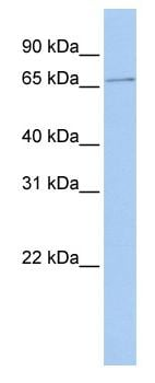 Western blot - SCMH1 antibody (ab83710)