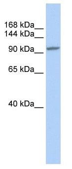 Western blot - Anti-NFAT4 antibody (ab83832)