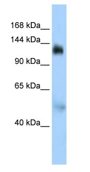 Western blot - NFX1 antibody (ab83833)
