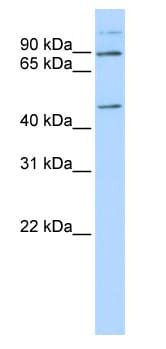Western blot - C21ORF13 antibody (ab83877)