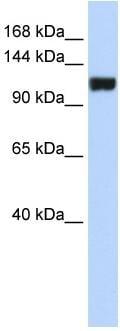 Western blot - FAM120A antibody (ab83909)