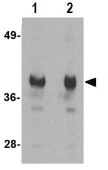 Western blot - GAPDH antibody (ab83957)